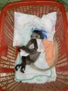 Vườn Quốc gia Bù Gia Mập: Người dân tự nguyện chuyển giao 01 cá thể vượn đen má vàng và 01 cá thể Chà vá chân đen quý hiếm