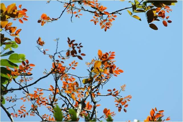 Gõ đỏ - Loài thực vật quý hiếm ở VQG Bù Gia Mập